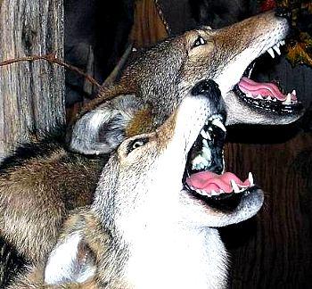 Los lobos de Miami