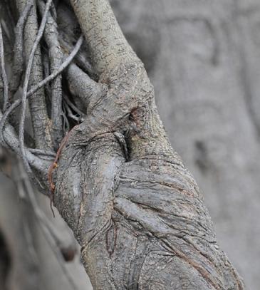 Corteza de árbol. Foto: Yohandry Fontana