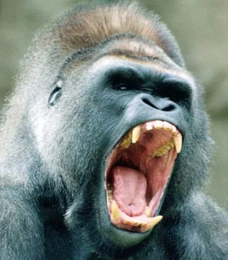 Los gorilas de Miami